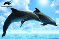 Dolphin 150 Pieces |Yorkshire Jigsaw Store
